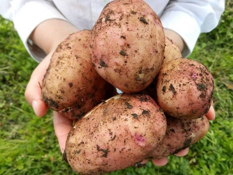 Картофель Мерлот