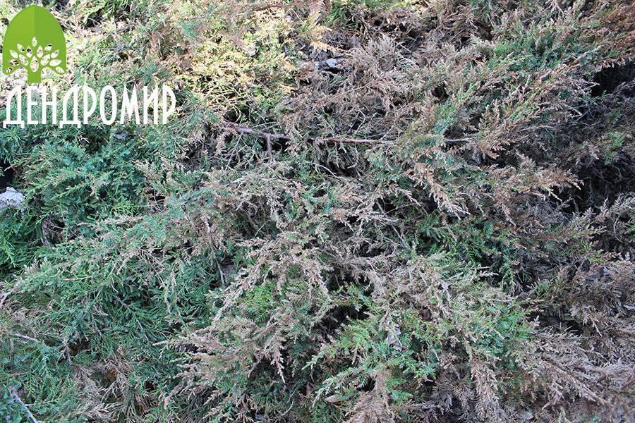 Можжевельник - полезные и опасные свойства можжевельника