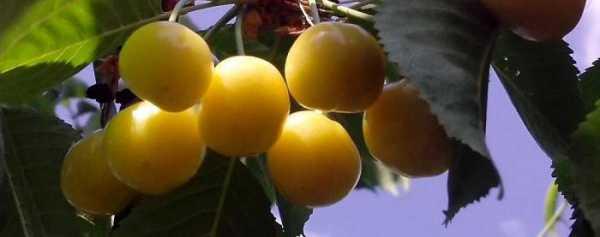Черешня «россошанская золотая» — опылители, описание сорта и фото