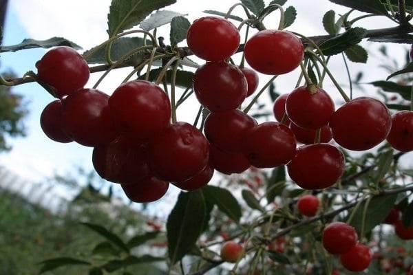Высокоурожайная вишня молодежная — зимостойкий и крупноплодный сорт