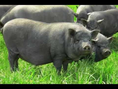 Кармалы: характеристика и особенности породы свиней