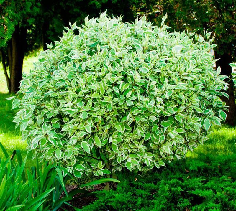 Кустарник дерен — декоративный, белый, пестролистный