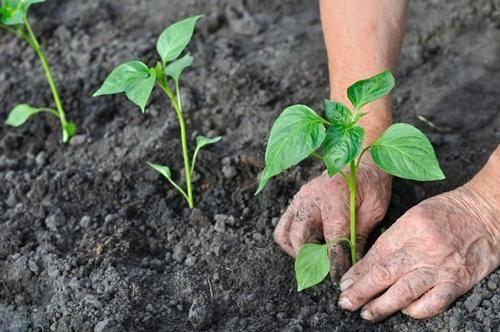 Когда высаживать рассаду в теплицу из поликарбоната: ищем благоприятное время