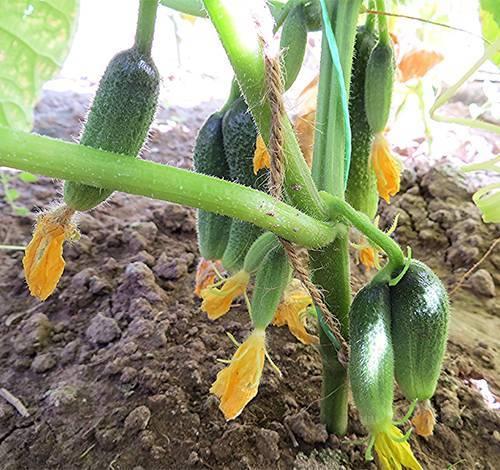 Сорт огурцов клавдия f1: описание, выращивание и уход