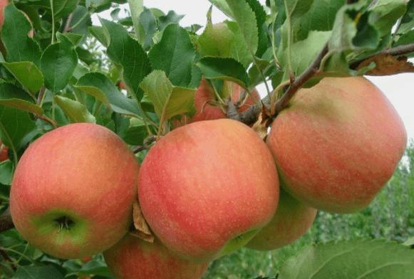 Яблоня чемпион: описание и характеристики сорта, подвиды, посадка и уход, отзывы