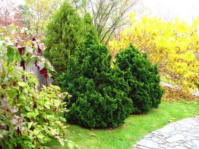 Кипарисовик тупой нана грацилис: описание растения, его посадка и уход