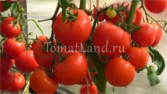 Скороспелые сорта томатов: алфавитный перечень суперранних помидор с рекомендациями по выращиванию в открытом грунте и теплицам