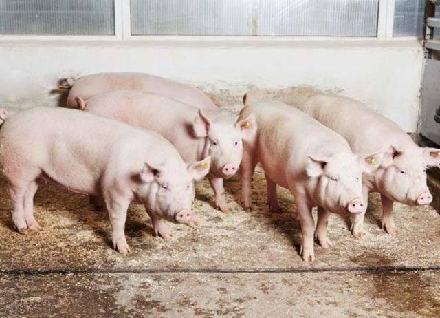 Породы свиней: описание и фотографии