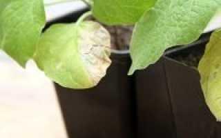 Болезни рассады баклажанов и борьба с ними: фото зараженных растений, причины и последовательность действий при лечении