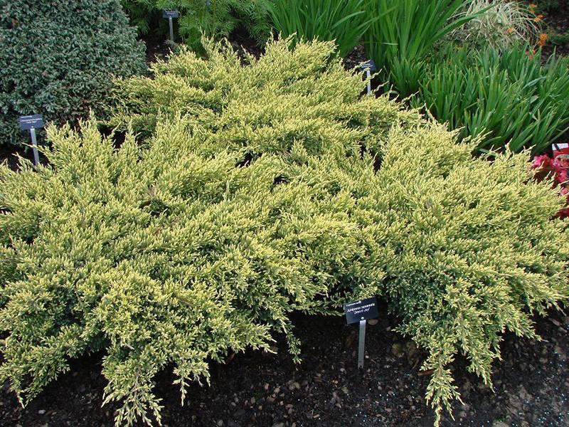 Можжевельник чешуйчатый дрим джой (juniperus squamata dream joy)
