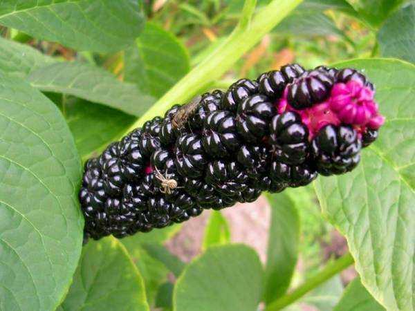 Растение лаконос, его лечебные свойства и рецепты