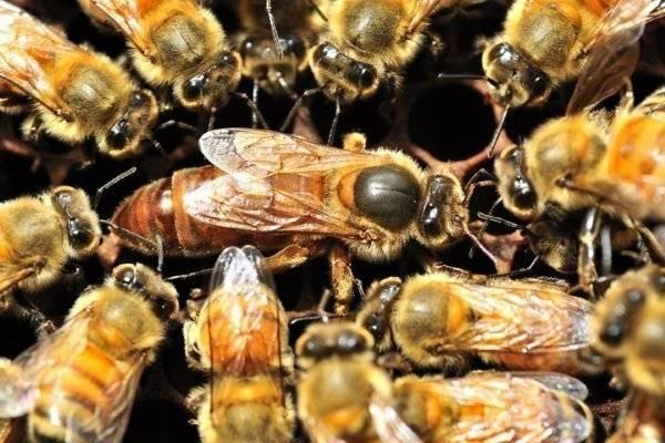 Подсадка маток, смена матки в пчелосемье