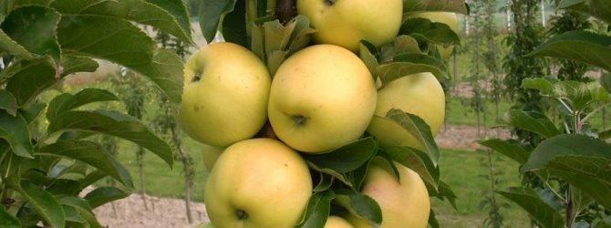 Колоновидная яблоня васюган: выращивание и уход