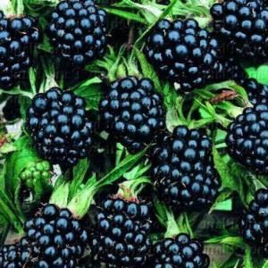 Секреты выращивания садовой ежевики