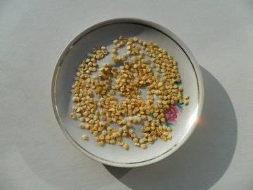 Особенности подготовки семян перца к посеву на рассаду: обязательные виды обработки, как правильно замочить и протравить семена