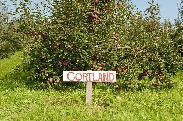 Яблоня кортланд