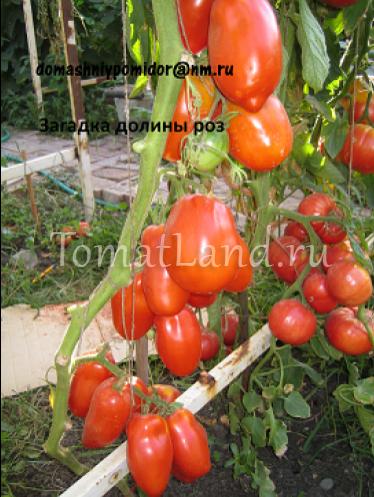 Томат загадка – вообще и не загадка, а гарантированный урожай отличных помидоров