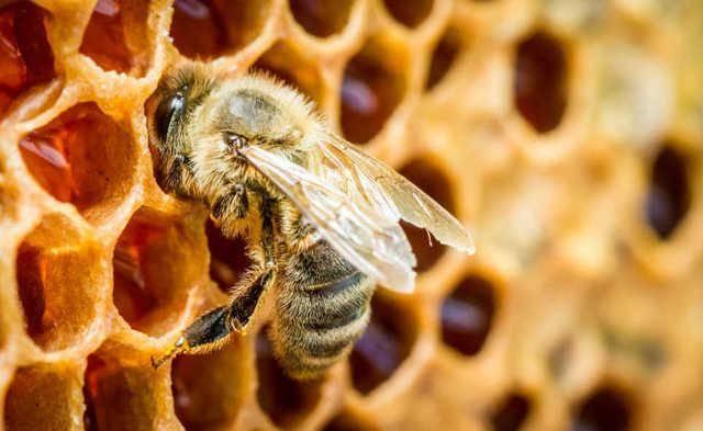 Влияние пчелиного подмора на потенцию