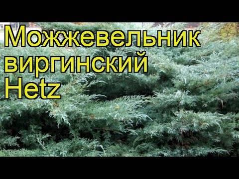 Можжевельник виргинский Хетц