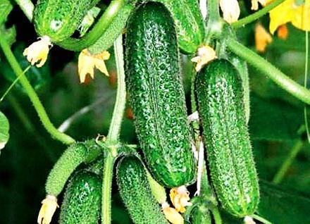 Взрывной урожай прямо на подоконнике — огурец динамит f1: описание и характеристика сорта