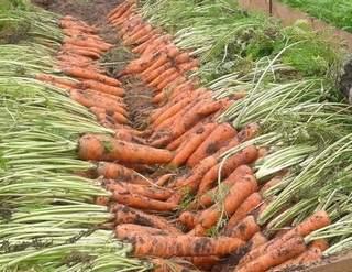 Когда выкапывать морковь в ленинградской области?