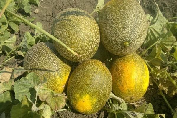 Дыня эфиопка: отзывы, описание сорта, фото, урожайность, выращивание