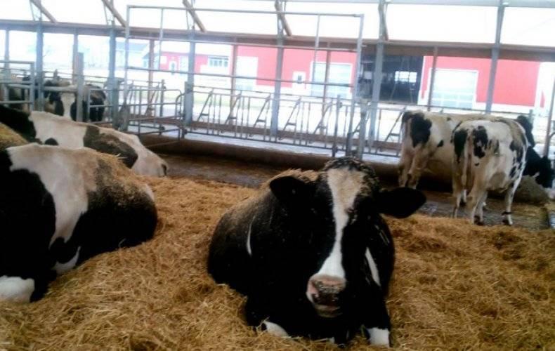 Особенности беспривязного содержания коров