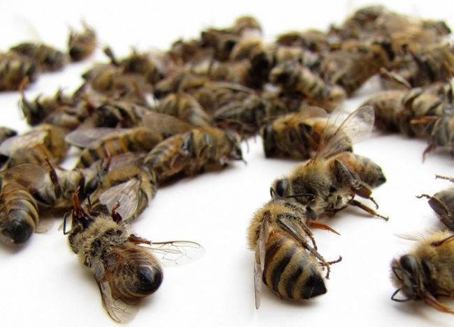 Пчелиная мерва: что это такое и ее применение