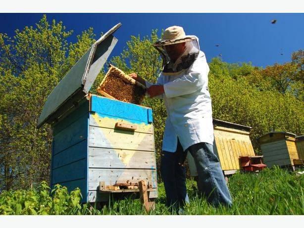 Пчеловодство как бизнес - с чего начать и как преуспеть?