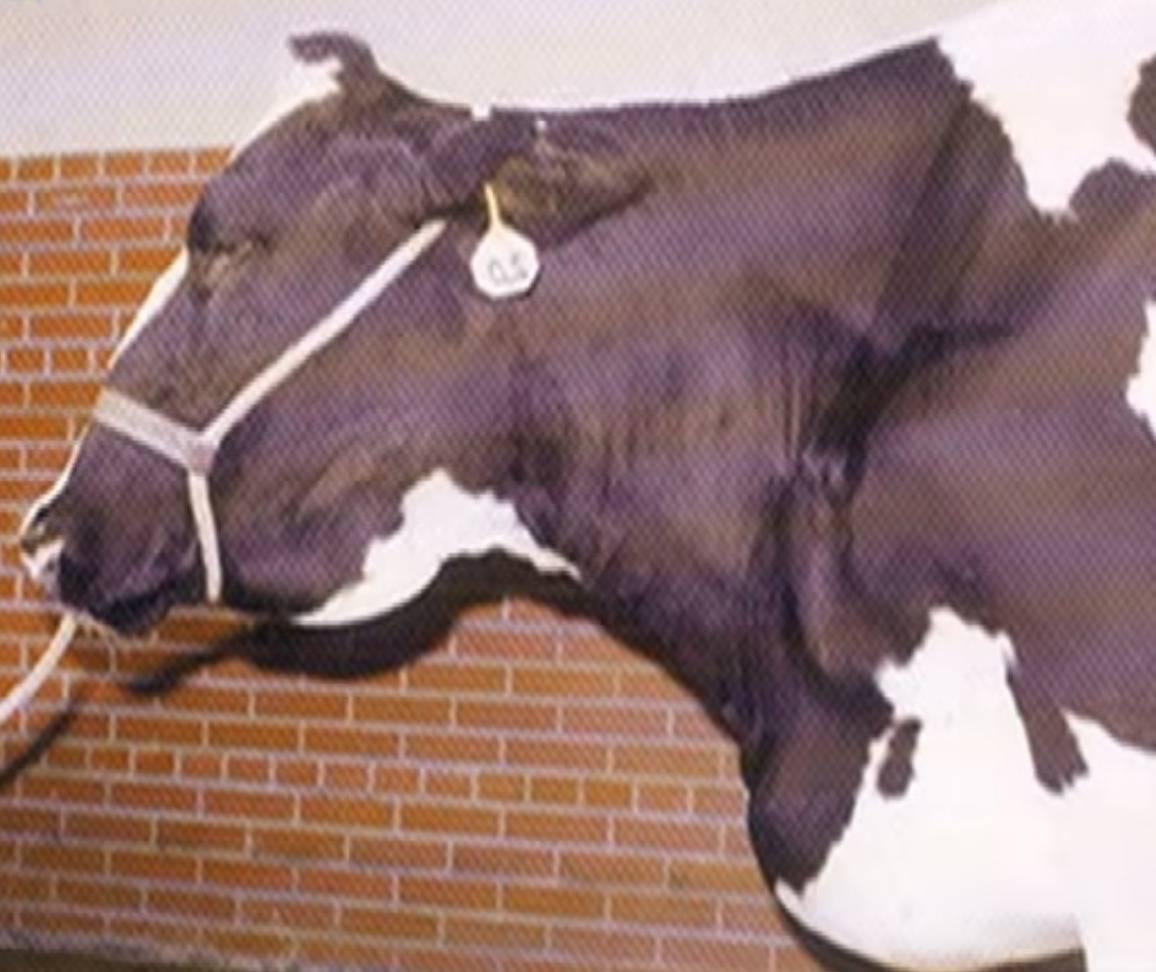 Туберкулез крупного рогатого скота: принципы профилактики 2020