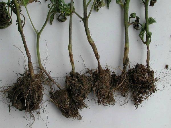 Черная ножка томатов: на рассаде, взрослых растениях, причины появления, способы борьбы, эффективные препараты и процедуры, меры профилактики