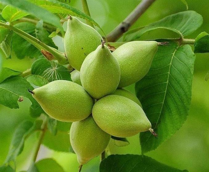 Лечебные свойства маньчжурского ореха: как приготовить лекарство от100 болезней излистьев, ядер искорлупы