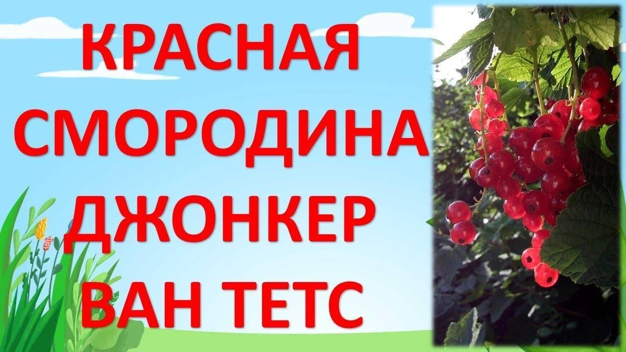 Красная смородина джонкер ван тетс посадка и уход