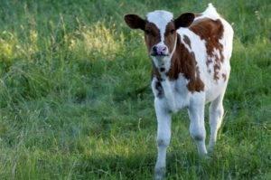 Корова скрипит зубами причины что делать