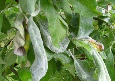 У груши скручиваются листья и темнеют. что делать? чем лечить?