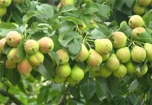 Чем подкармливать грушу – схема внесения удобрений под грушу весной, летом и осенью