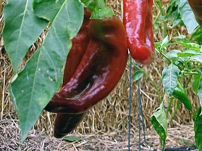 Перец какаду: характеристика и описание сорта