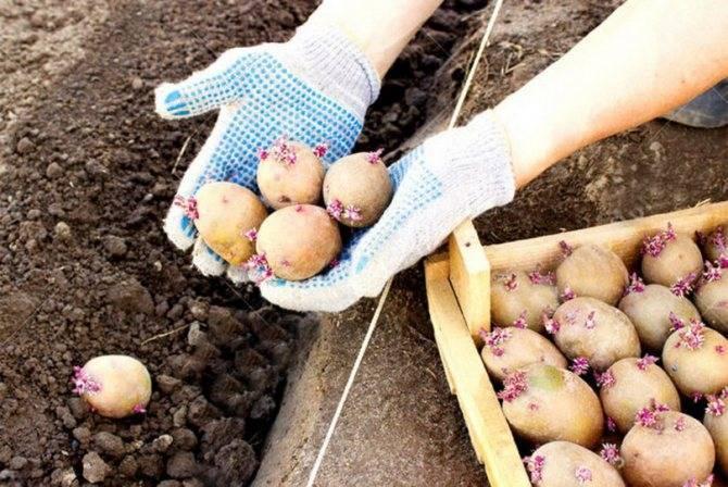 Правильная обработка картофеля перед посадкой