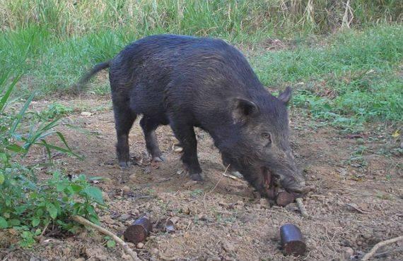 Как заколоть свинью в домашних условиях: пошагово с фото и видео