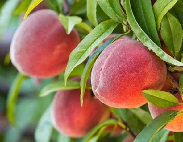 Персик редхейвен посадка и уход