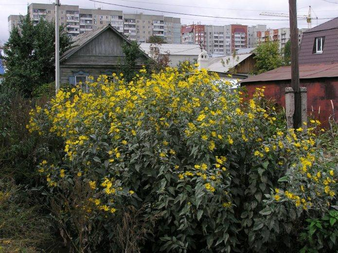 Топинамбур: посадка и выращивание, уход