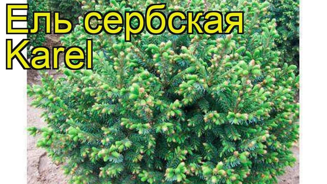 Ель сербская (44 фото): описание «пендула брунс», «ауреа» и других сортов, посадка и уход, высота оморики и правила обрезки. как быстро растет?