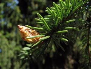 Ель сербская нана: ботаническое описание, посадка и уход