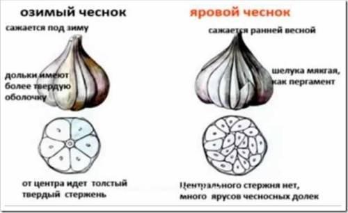 Основные отличия ярового чеснока от озимого