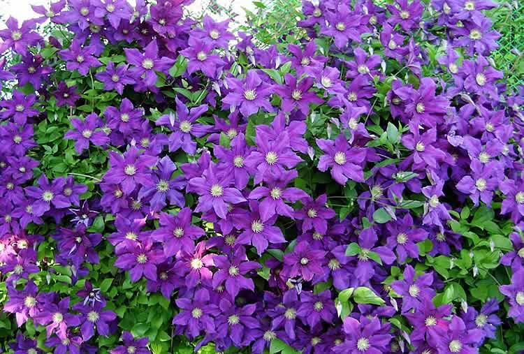 Быстрорастущие плетущиеся растения для забора: многолетние и однолетние