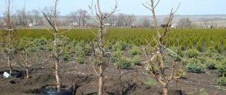 Как правильно посадить абрикос весной: пошаговая инструкция
