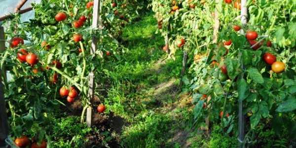 Сорта томатов: сибирский скороспелый