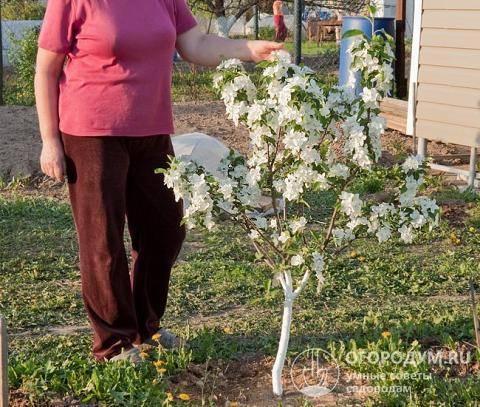 Особенности карликовых деревьев для сада и дома