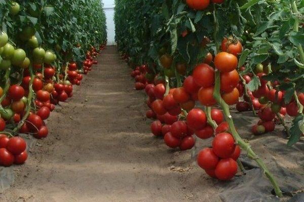 Сорт помидор интуиция: урожайность и особенности выращивания