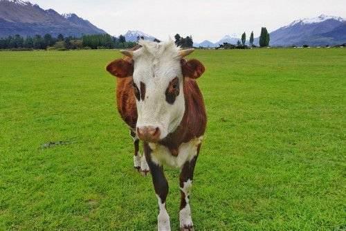 Эхинококкоз крс (крупного рогатого скота) и других сельскохозяйственных животных — лечение овец, коров, коз — moloko-chr.ru
